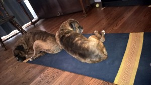 Down Dogs on my yoga mat. I love my boxers, but now they're just showing off.